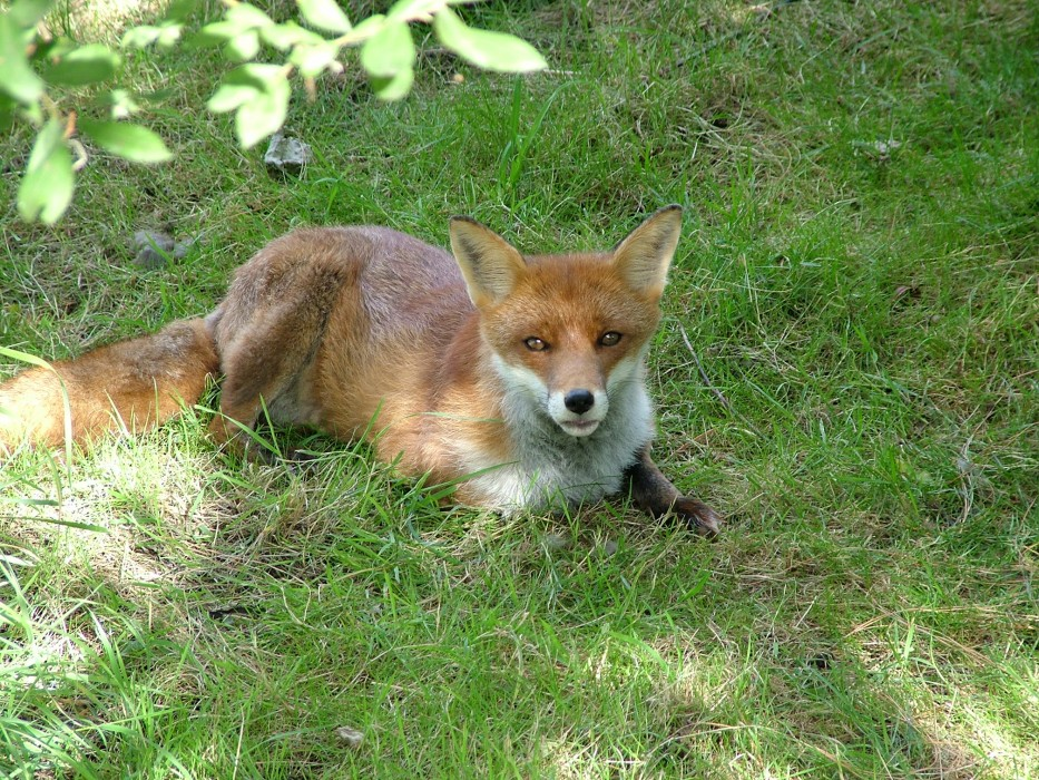 photoblog image Red Fox 2